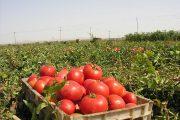 پيش بيني توليد 469 هزارتن گوجه فرنگي در خراسان رضوي