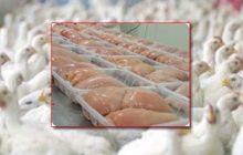 توزیع روزانه ۱۰۰ تن گوشت مرغ گرم با نرخ ۱۱۵هزار ریال