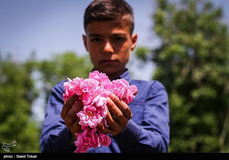 برداشت گل محمدی بجنورد